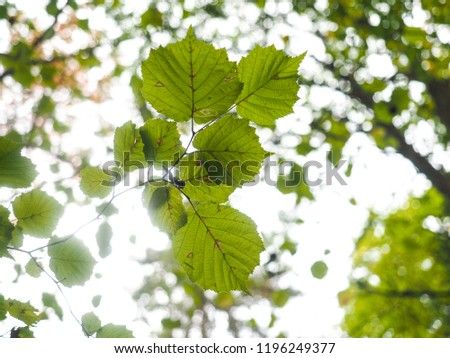Ash tree leaves, still green, with brown spots at autumn, underneath to beyond