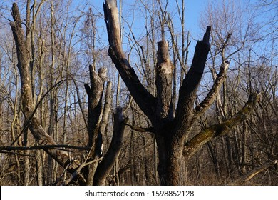 Ash Trees Damaged by the Emerald Ash Borer Beetle