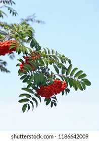 Ashberry against the sky. Tree branch close-up