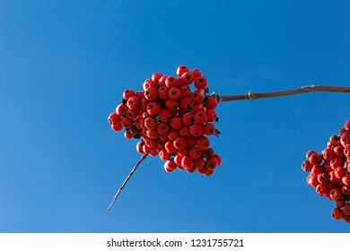 Ashberry branch on a blue