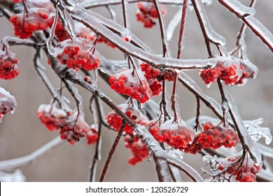 Ash-berry covered with ice in the winter