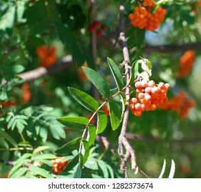 ashberry at dry sunny summer day