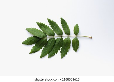 ashberry leaf, Rowan leaf on white background, green ashberry leaf