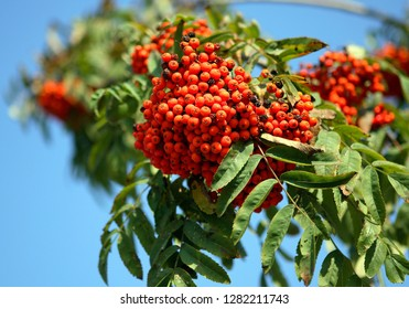 ashberry with leafs on sky background, september