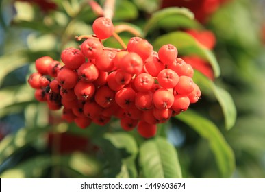 ashberry with leafs on sky background