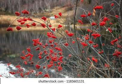 Ashberry on Kardyvach mountain lake water background. Scenic autumn sunset landscape of rowan tree in Sochi, Russia, Caucasus mountains.