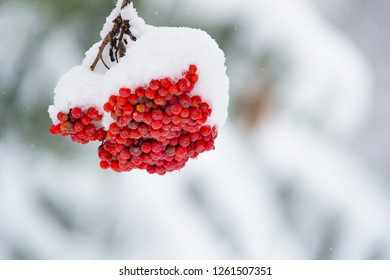 Ashberry on the white snow background