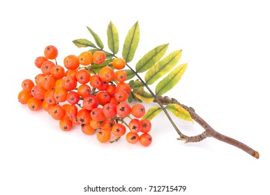 Ashberry (rowanberry) branch isolated on white background