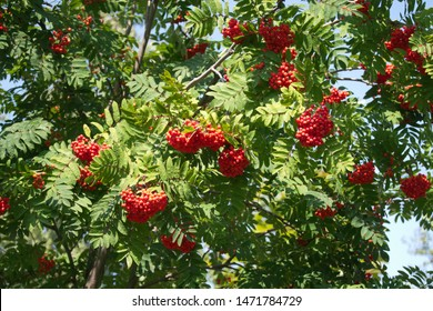 ashberry in sunny summer day