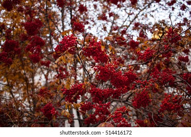 Ashberry tree in late autumn