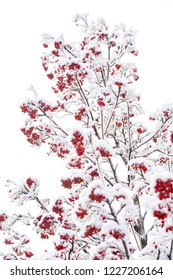 Ashberry in winter on natural background. Red berries covered with snow. Rowan bunches on snowy tree. Christmas or new year concept. Winter, nature, plant, snowfall, frost.