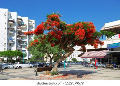 ASHDOD, ISRAEL - JUNE 06, 2018: Delonix Royal flowering tree on the street in Ashdod, Israel, the Middle East