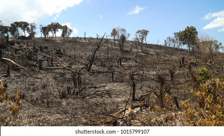 Ashes after a fire in the forest. Burnt, charred trees after a forest fire. Charred trees after a forest fire.