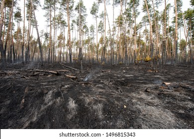 Ashes in Pine Forest After Fire, landscape. Spring season. Web banner.