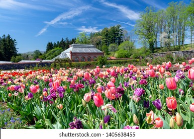ASHEVILLE, NORTH CAROLINA, USA - APRIL 16, 2019  Throngs of visitors enjoy the spring tulips in the formal gardens of Biltmore Estate.  The conservatory is seen in the background.