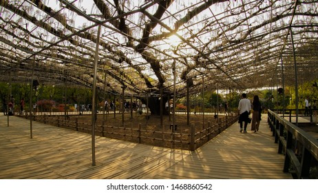 Ashikaga, Tochigi / Japan - April 2019, 21 : A stunning umbrella wisteria tree in early blooming phase begin to attract local and foreign tourists to visit Ashikaga Flower Park