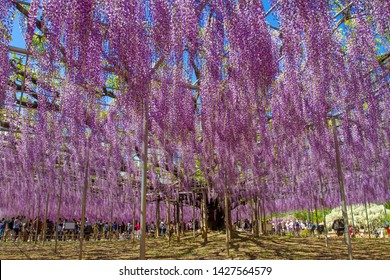 Ashikaga Tochigi, Japan- April 29, 2016. View of a giant Wisteria tree during the Wisteria festival at Ashikaga flower park in Tochigi Japan.