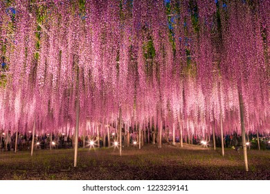 Ashikaga in Tochigi prefecture in Japan There are gigantic wisteria flowers at flower park,It's mysterious beauty when lighted up.