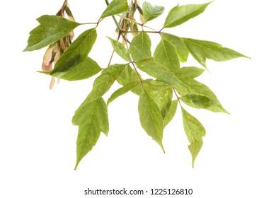 Ash-leaved maple (acer negundo)