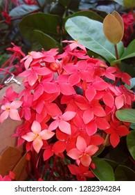 Ashok flower, flower images, natural beauty