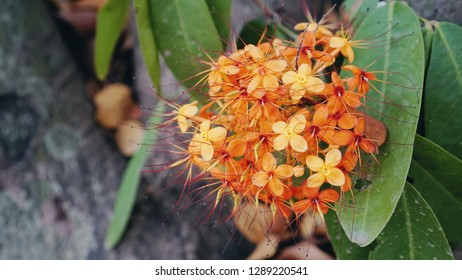 Ashoka flowers bouquet, colorful orange and yellow flower