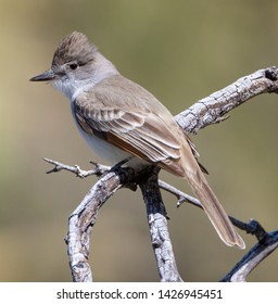 An ash-throated flycatcher (Myiarchus cinerascens) perches on a branch in the Arizona desert