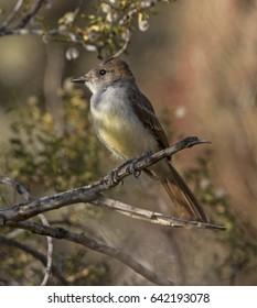 Ash-throated Flycatcher in Phoenix Mountain Preserve