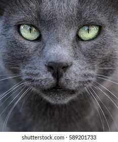 Ashy cat as a gray background with beautiful sad green eyes