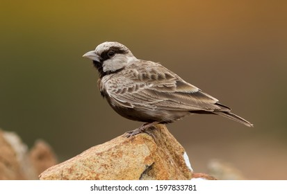 Ashy Crown Sparrow Lark  a beautiful grey color bird in nature sitting on rock with green background