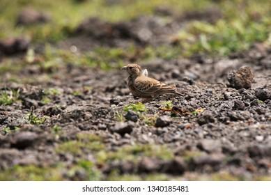 Ashy crowned sparrow, lark-Eremopterix griseus, Saswad, Pune, Maharashtra, India.
