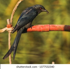 Ashy drongo enjoying its morning breakfast on a tranformer pole in Mapusa, Goa.