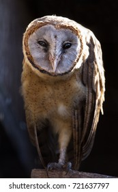 ashy faced owl (tyto glaucops) perched looking at camera (Captive, UK)