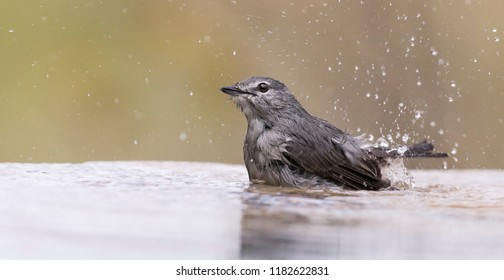 Ashy Flycatcher having a bath to cool down in the  shallow pool