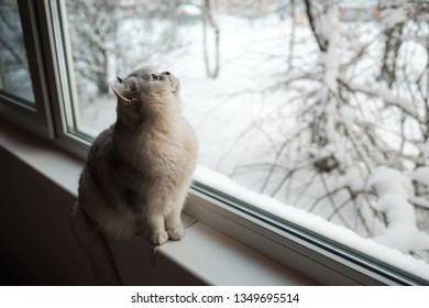 An ashy funny British cat sits on the windowsill. Outside the window, snow and winter. Pet.