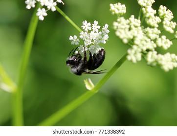 Ashy mining bee or