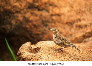 Ashy-crowned Sparrow-lark, Eremopterix griseus, Hampi, Karnataka, India.