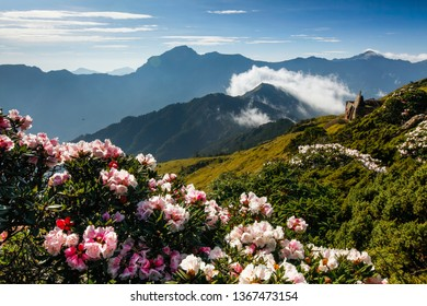 Asia - Beautiful landscape of highest mountains,Rhododendron, Yushan Rhododendron (Alpine Rose) Blooming by the Trails of Taroko National Park, Nantou,Taiwan