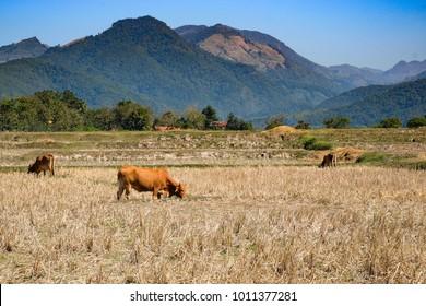 Asia cow eating grass at countryside, Nan thailand