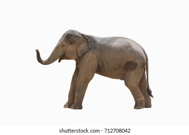 Asia elephant isolated on white with clipping path.