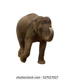 Asia elephant run on isolated white background.