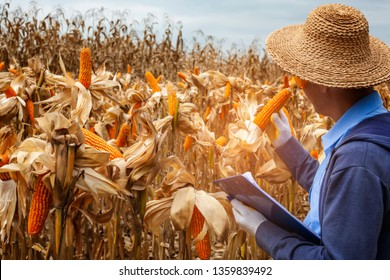 Asia farmer or Agricultural Scientists inspecting,analyse corn cob in cornfield. dry corn ready for havesting .local man looking at corn cob and reported.agribusiness concept