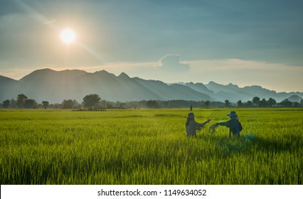 Asia farmer plant a rice on paddy field in thailand with sunset and lay light, Two farmer send rice from the hand under sunset