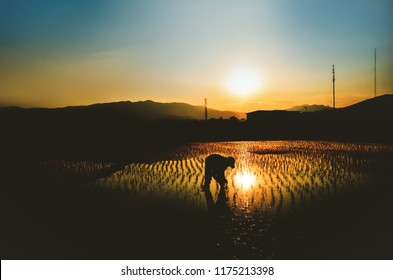 Asia man farmer at work view at sunset in rice farm,Thailand