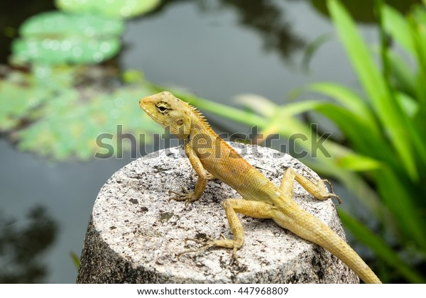 Asia nature chameleon stand on stone near lotus pond and blur background
