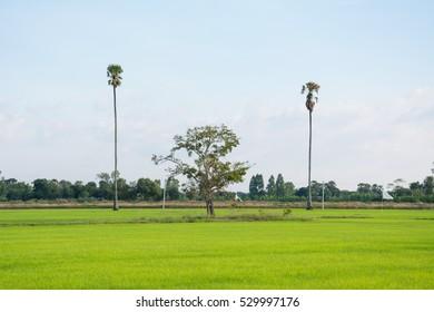 Asia rice farm landscape background