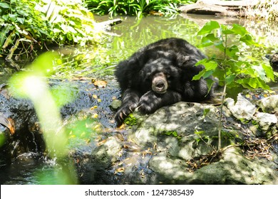 Asia Tropical Wildlife Animal, Asiatic Black Bear (moon bear, white-chested bear) is a medium-sized bear species native to Asia and largely adapted to arboreal life lives in tropical forest habitat.