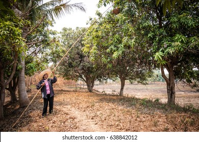 asia woman is hunting Red fire ant on mango tree by basketwork. Thai people go hunt ant nest and find egg' ant for cook. (Oecophylla smaragdina)