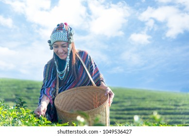 Asia worker farmer women were picking tea leaves for traditions in the sunrise morning at tea plantation outdoors nature. Lifestyle Concept