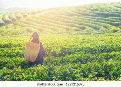 Asia worker farmer women were picking tea leaves for traditions outdoors the sunrise morning at tea plantation nature, Thailand. Lifestyle Concept