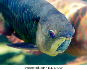 The Asian arowana. Arovana is one of the few fish that look the same as they looked in the Jurassic period. Its name means bone tongue and a pair of antennae. Silver arowana lives in South America.